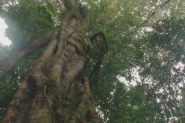 Деревья Индонезии спасают путём «усыновления»