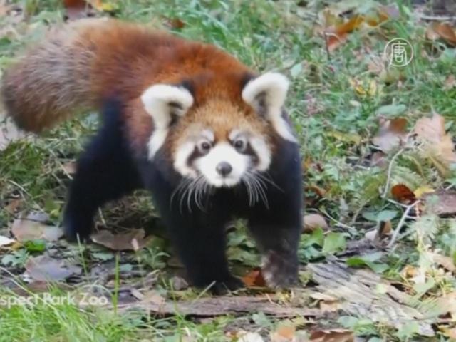 Дебют в зоопарке Нью-Йорка: детёныши малой панды