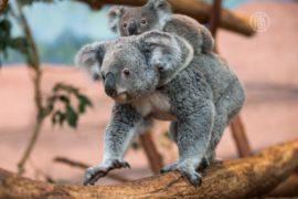 В Австралии переселяют коал