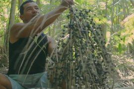 Ягоды пальмы асаи: из Бразилии всему миру