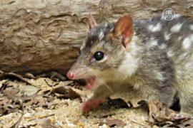 Австралийских куниц учат не есть ядовитых жаб