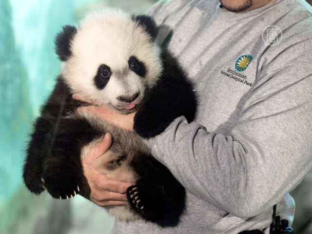 Журналистам впервые показали панду Бэй Бэй