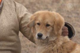 Тибетские мастифы снова пасут скот в степях Монголии