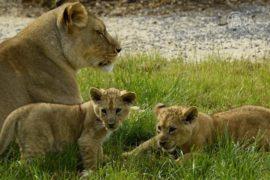 США защитят африканских львов