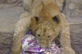 Зверям в зоопарке Гданьска устроили Рождество