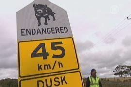 Тасманийских дьяволов отпугивают от дорог