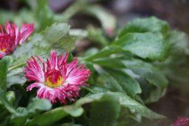 Аномальная зима: в Москве цветут маргаритки