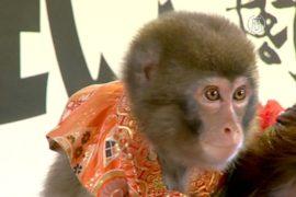 Япония: овца уступила дорогу обезьяне