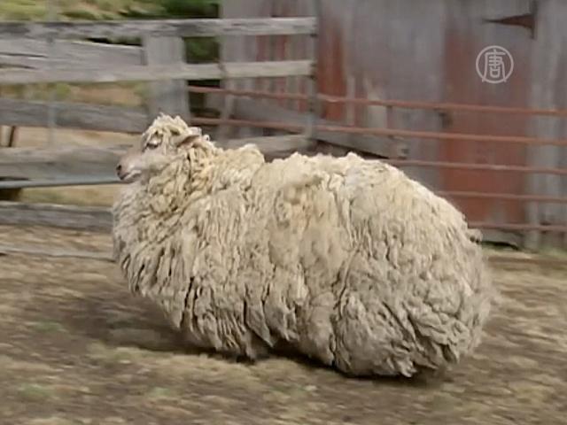 С заблудшей овечки состригли 21 кг шерсти