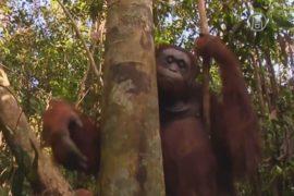 В Индонезии обезьян спасают из выгоревших лесов