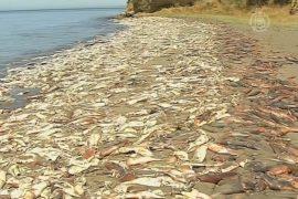 Чилийцы задыхаются из-за тысяч мертвых кальмаров