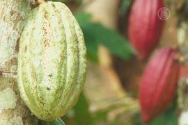 Фермеры заменяют кофе на какао из-за потепления