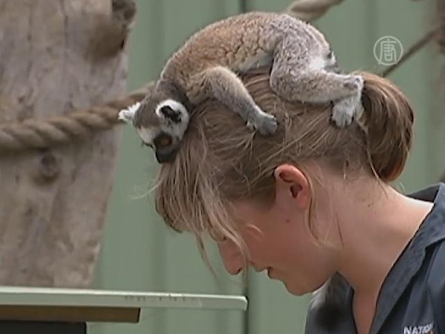 Сотрудница зоопарка выкормила лемура