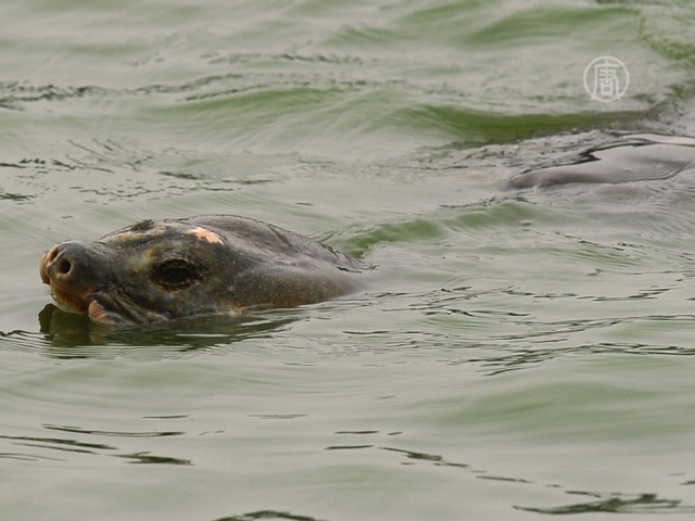Вьетнамцы опечалены смертью священной черепахи