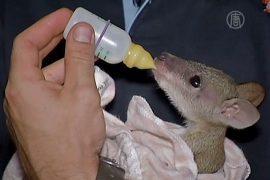 Австралийка выкармливает брошенных кенгуру