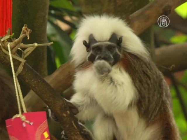 В зоопарке Сингапура чествуют обезьян