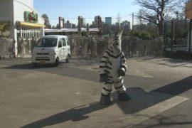 Как в токийском зоопарке ловили «зебру»