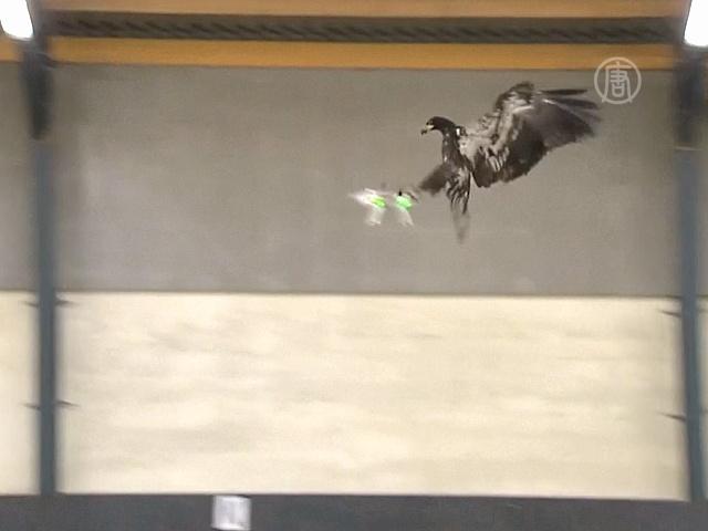 Орлов учат перехватывать дроны-нарушители