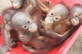 Школа учит орангутанов выживать в дикой природе