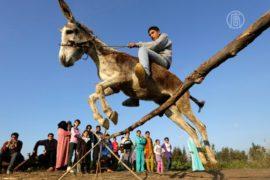 Прыгающий через барьеры осёл удивляет египтян