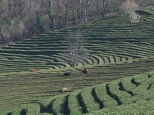 Производство краснодарского чая переживает кризис