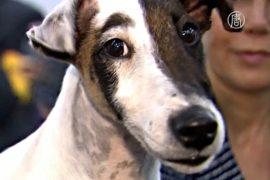 К Вестминстерскому дог-шоу готовятся сотни собак