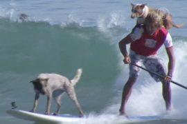 Австралиец призывает воспитывать собак сёрфингом