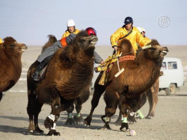 В Монголии проходит Фестиваль верблюдов