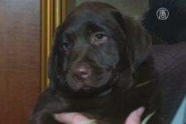 Лабрадор-ретривер – самая популярная собака в США