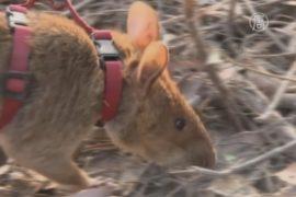 Гигантские крысы помогают искать мины в Камбодже