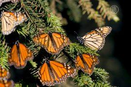 Популяция бабочек монархов увеличивается