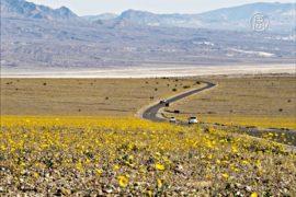 Миллионы жёлтых цветов украсили Долину смерти