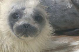 Тюленёнок стал «звездой» морского парка в Японии