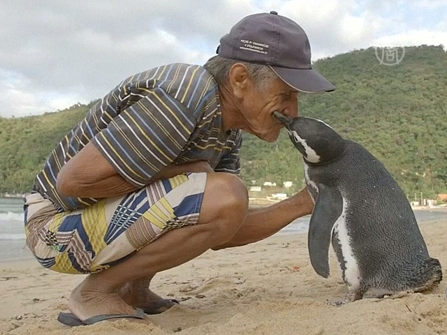 Пингвин каждый год возвращается к своему спасителю