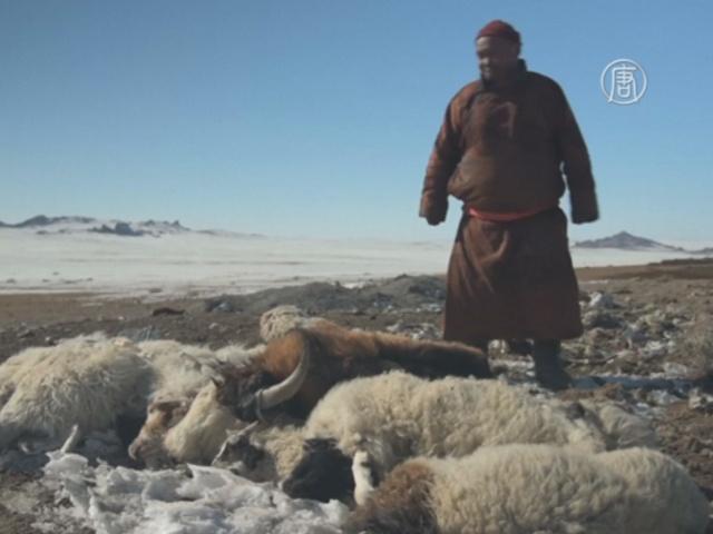 В Монголии от голода гибнет скот