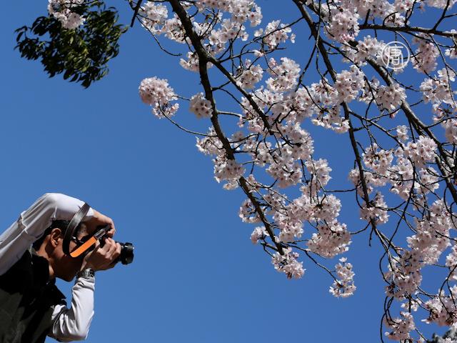 Японцы устремились в парки любоваться сакурой