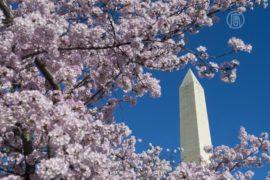 Сакура цветёт на фоне Монумента Вашингтона