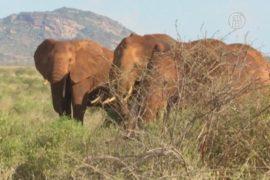 Для слонов в Кении построят подземные переходы