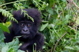 Крупнейшим приматам планеты угрожает вымирание