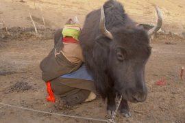 Молоко яка – основной продукт питания тибетцев