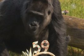 Горилле из зоопарка Берлина исполнилось 59