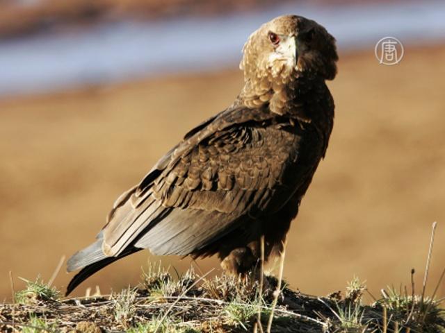 В Австралии создали центр помощи раненым орлам