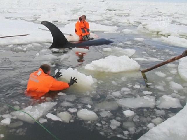 Косаток на Сахалине вызволяли из ледяного плена