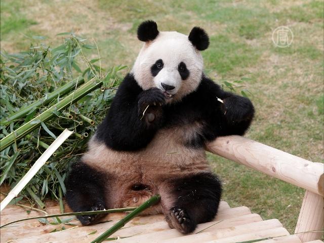 Южнокорейцы впервые за 20 лет увидели панд