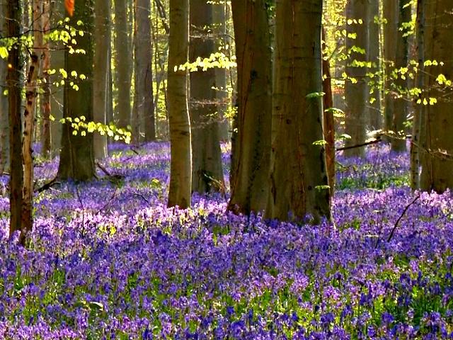 Бельгийцы устремились в сказочный «Синий лес»