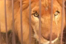 Львов из цирков Перу отправят на родину