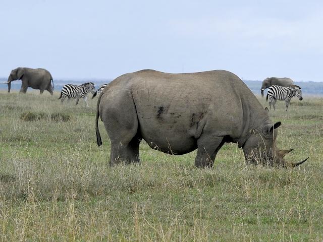 В Кении сохраняют вымирающий подвид носорога