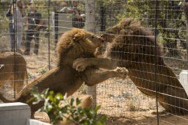 Львы, спасенные из цирков Перу, прибыли на родину