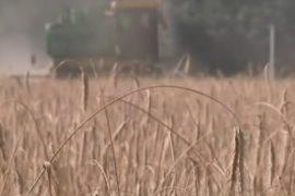 Урожай зерновых в России увеличится