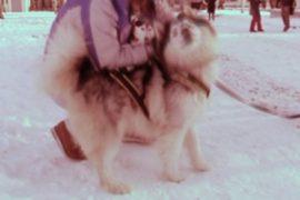 Прокатиться в собачьей упряжке в Москве